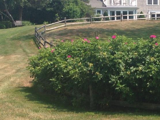 Wild roses in Cape Cod!